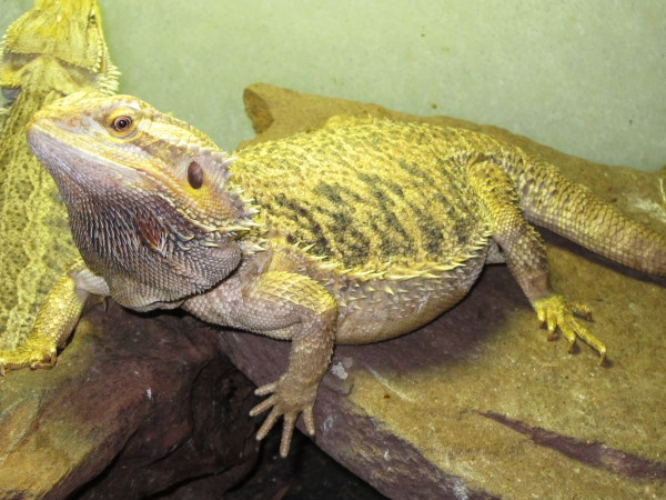 pogona vitticeps adult